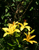 A Yellow Lily