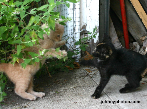 more kittens playing