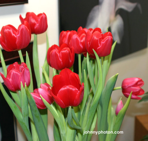 forcing tulips to flower in the winter